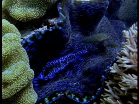 clam underwater, open shell overgrown by various corals, great barrier reef - 動物の色点の映像素材/bロール