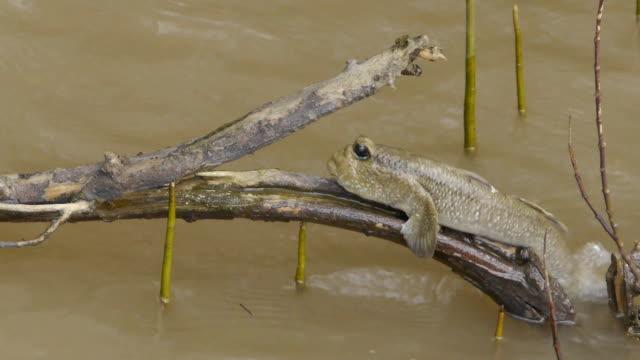 clamber - mudskipper stock videos and b-roll footage
