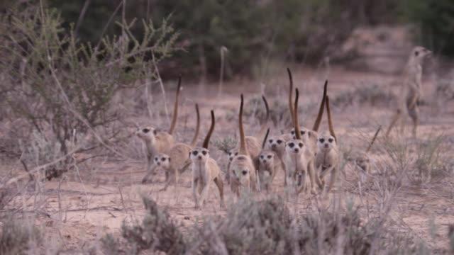 clan of meerkats (suricata suricatta) runs through desert, south africa - meerkat stock videos & royalty-free footage