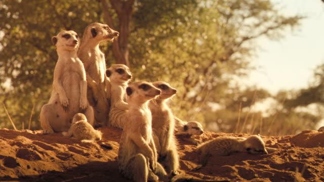 vídeos y material grabado en eventos de stock de a clan of meerkats stands at attention on their mound. available in hd. - desierto del kalahari