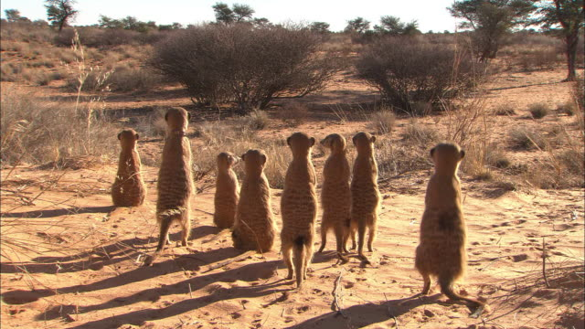 A clan of meerkats stands on sand and watches.