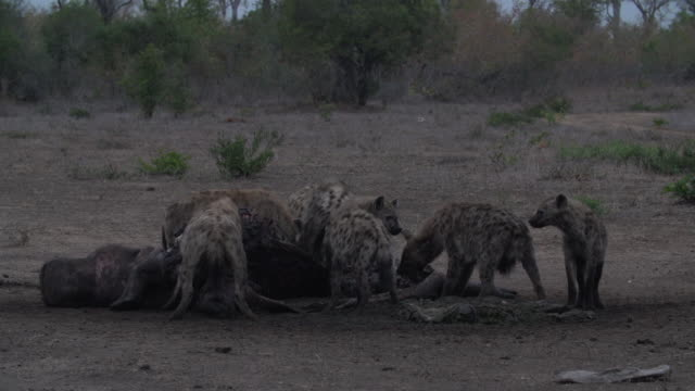clan of spotted hyenas feeding on a hippo carcass, kruger national park, south africa - group of animals stock videos & royalty-free footage