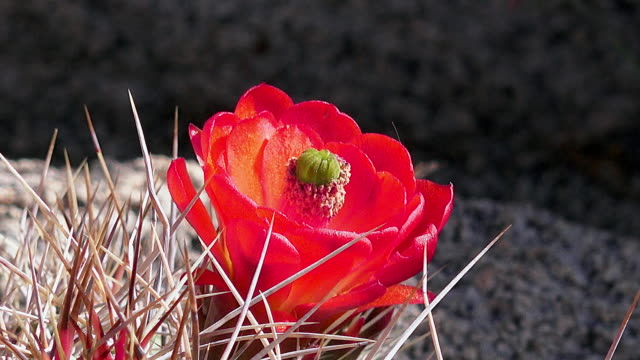 claret cup cactus, echinocereus triglochidiatus, zoom in, joshua tree national park - joshua tree national park stock videos & royalty-free footage