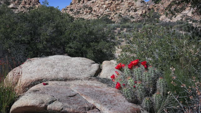 claret cup cactus, echinocereus triglochidiatus, zoom in, joshua tree national park - cactus stock videos & royalty-free footage