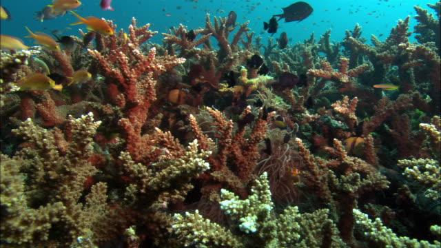 vídeos de stock, filmes e b-roll de ms, clarkes anemone fishes by coral reef, papua new guinea  - oceano pacífico do sul