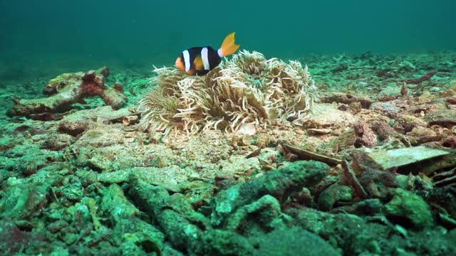 clarkes anemonefish in sea anemone thailand - sea anemone stock videos & royalty-free footage