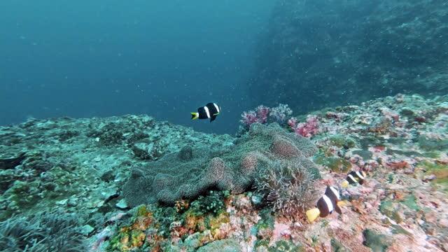 clarkes clownfish 4k underwater tripod footage - indian ocean stock videos & royalty-free footage