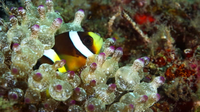 clarkii clown fish resting in a bubble tip anemone - close up - batangas province stock videos and b-roll footage