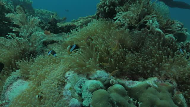 vídeos de stock, filmes e b-roll de clark's esconder palhaço em anêmona submarina do oceano índico - ponto de vista de mergulhador