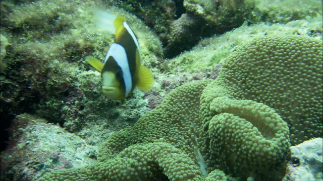 clark's anemonefish swims around a carpet anemone along the barrier reef. - anemonefish stock videos & royalty-free footage