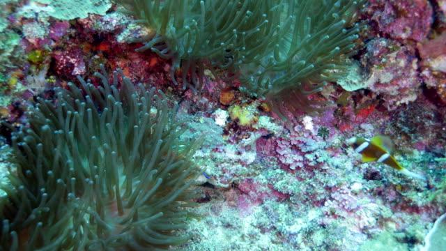 clark's anemonefish - sea anemone stock videos & royalty-free footage