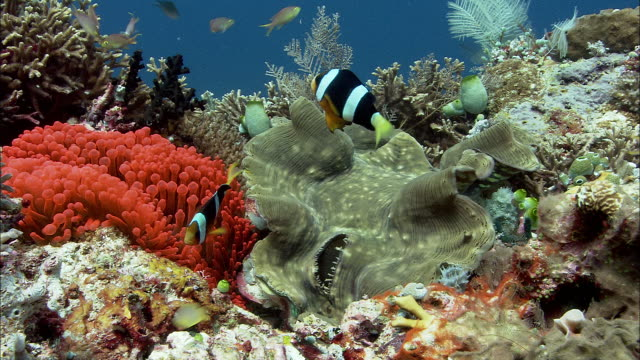 stockvideo's en b-roll-footage met clark's anenomefish (amphiprion clarkii) and giant clam on reef, west papua, indonesia - clownvis