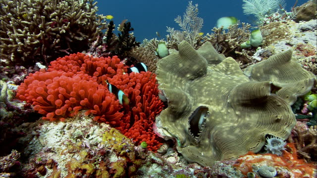 Clark's anenomefish (Amphiprion clarkii) and giant clam on reef, West Papua, Indonesia