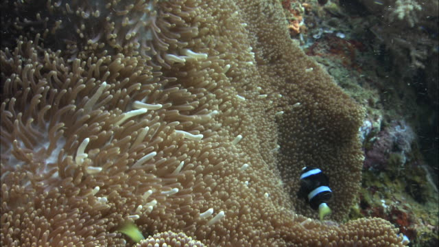 stockvideo's en b-roll-footage met clark's anenomefish (amphiprion clarkii) on host anenome, west papua, indonesia - vachtpatroon