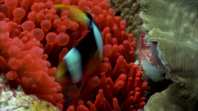 Clark's anenomefish (Amphiprion clarkii) on reef, West Papua, Indonesia
