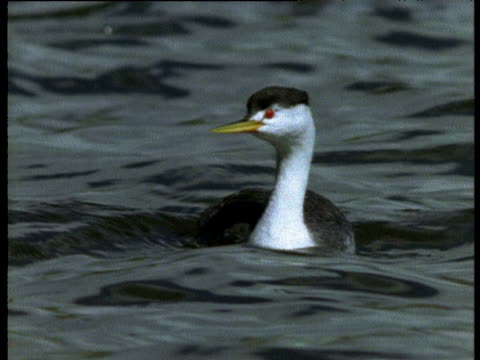 stockvideo's en b-roll-footage met clark's grebe bobs and swims on lake then dives under water - water bird