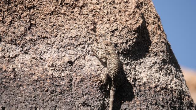 clark's spiny lizard - prescott arizona stock videos & royalty-free footage