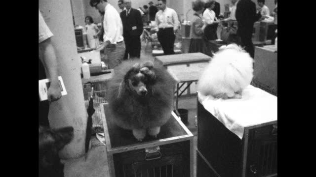 Classic images of early dog show in Nashville showing dogs being groomed by owners