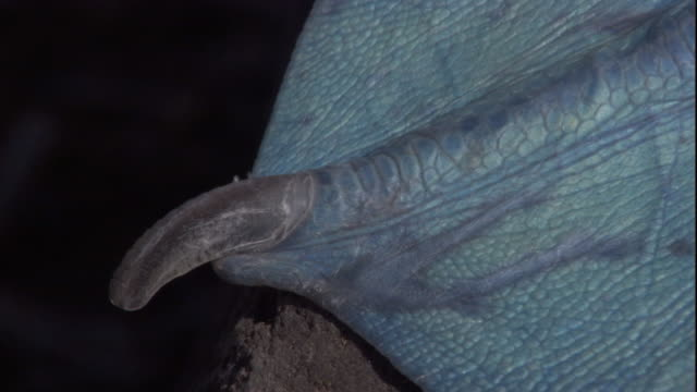 stockvideo's en b-roll-footage met a claw protrudes from the webbed foot of a blue-footed booby. available in hd. - zwemvlies