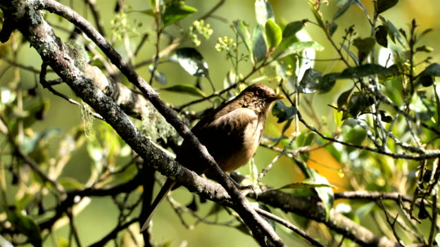 clay-colored thrush from costa rica - thrush stock videos & royalty-free footage