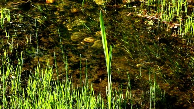 stockvideo's en b-roll-footage met clean creek with grass - waterplant