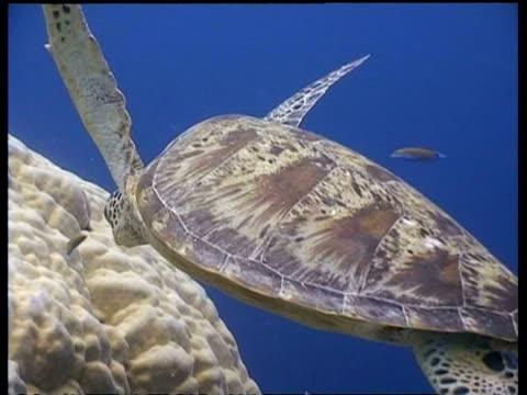 vídeos y material grabado en eventos de stock de cu cleaner fish cleaning green turtle at cleaning station, blue sunlit water, sipadan, borneo, malaysia - patrones de colores