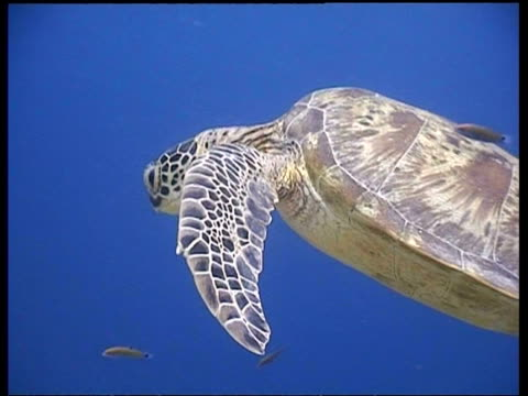 vídeos y material grabado en eventos de stock de cu cleaner fish cleaning green turtle at cleaning station, head in profile, shell detail, sipadan, borneo, malaysia - patrones de colores