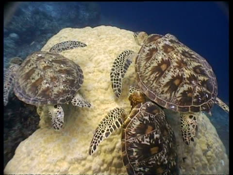 ms cleaner fish cleaning group of green turtle at cleaning station, high angle, sipadan, borneo, malaysia - 水棲ガメ点の映像素材/bロール