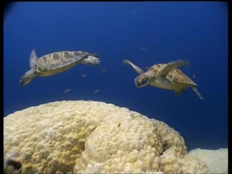 vídeos y material grabado en eventos de stock de ms cleaner fish cleaning group of green turtle at cleaning station, sipadan, borneo, malaysia - patrones de colores