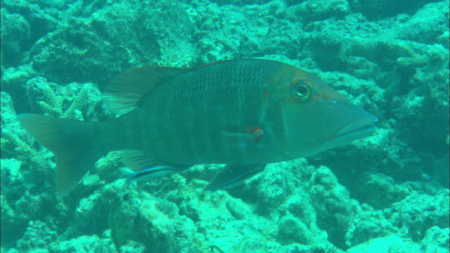 cleaner fish eat algae off a schoolmaster snapper. - symbiotic relationship stock videos & royalty-free footage