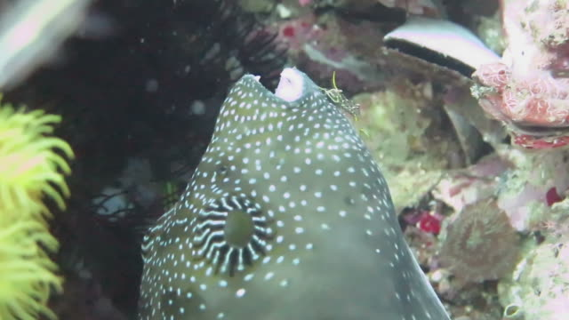 Cleaner Shrimp Climbs Inside Puffer Fish