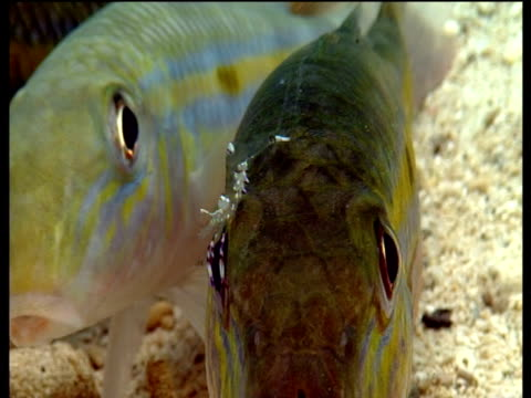 Cleaner shrimp removes parasites from goatfish