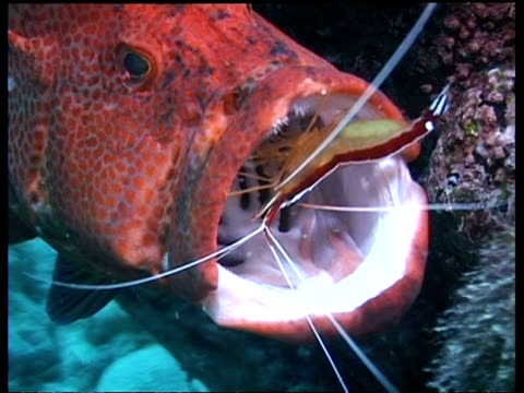 cu cleaner shrimps cleaning tomato grouper, inside mouth, mabul, borneo, malaysia - mabul island stock videos and b-roll footage