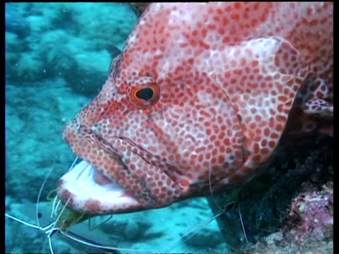 cu cleaner shrimps cleaning tomato grouper, mabul, borneo, malaysia - mabul island stock videos and b-roll footage
