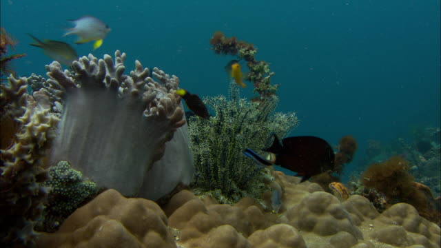Cleaner wrasse (Labroides dimidiatus) and reef fishes on coral reef, Manado, Indonesia