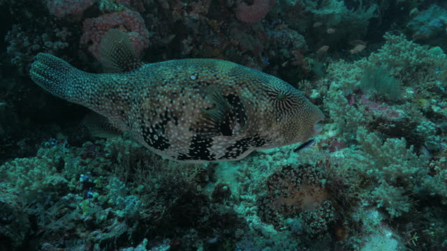 cleaner wrasse cleaning pufferfish in coral reef, komodo (4k) - cleaner stock videos and b-roll footage