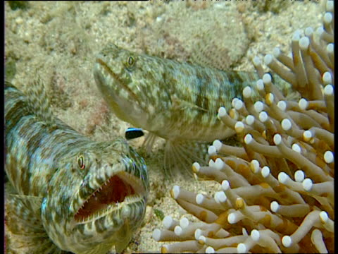 cleaner wrasse flits about and services graceful lizardfishes on reef, sulawesi - ベラ科点の映像素材/bロール