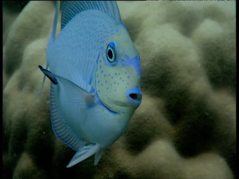 Cleaner wrasse services surgeonfish on reef, Sulawesi