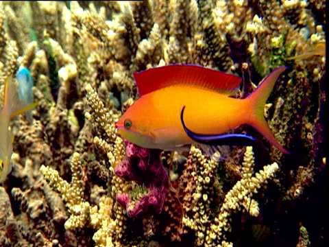 vídeos y material grabado en eventos de stock de cleaner wrasse services threadfin anthias, sulawesi - lábrido