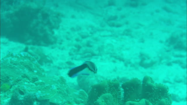 a cleaner wrasse swims near the ocean floor. - wrasse stock videos & royalty-free footage