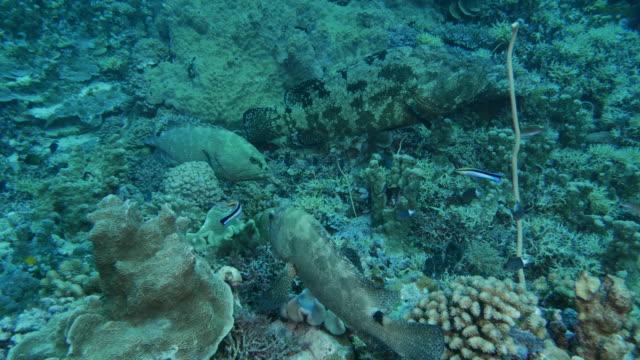 Sauberer Lippfische war marmorierter Zackenbarsch Fisch Reinigung