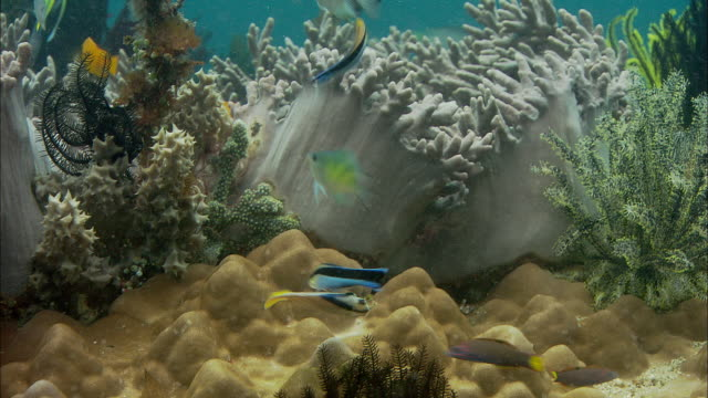 cleaner wrasses (labroides dimidiatus) tend to reef fishes on coral reef, manado, indonesia - lippfisch stock-videos und b-roll-filmmaterial