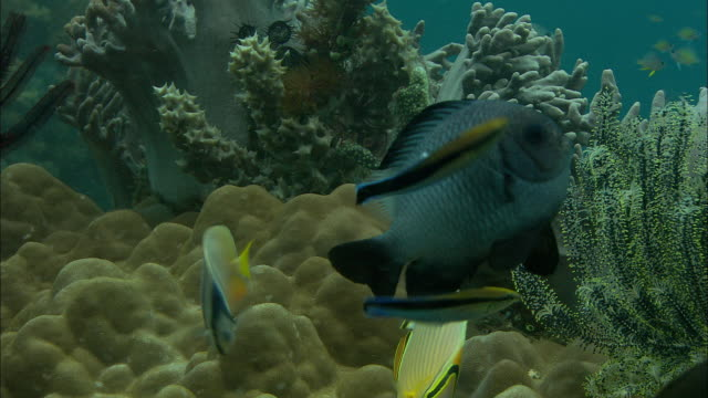 Cleaner wrasses (Labroides dimidiatus) tend to reef fishes on coral reef, Manado, Indonesia