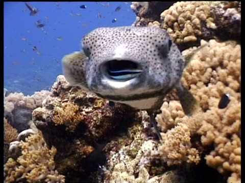 cleanerfish inside mouth of porcupinefish, malaysia - balloonfish stock videos and b-roll footage