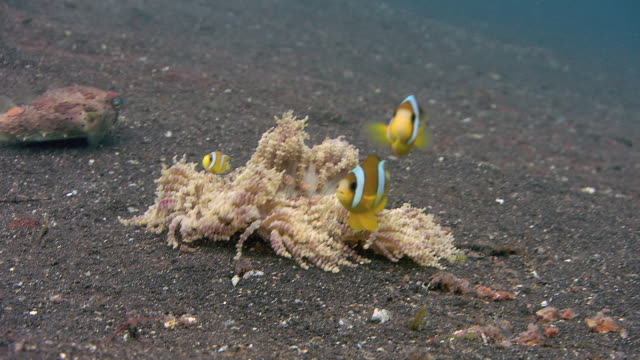 cleaning station. cleaner shrimps (periclimenes sp.) cleaning a spiny porcupinefish (diodon holocanthus) - balloonfish stock videos and b-roll footage