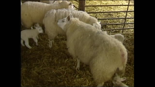 interior shots of sheep in shed following the outbreak of foot and mouth disease on 15th of march 2001 in carlisle, united kingdom - cattle stock videos & royalty-free footage