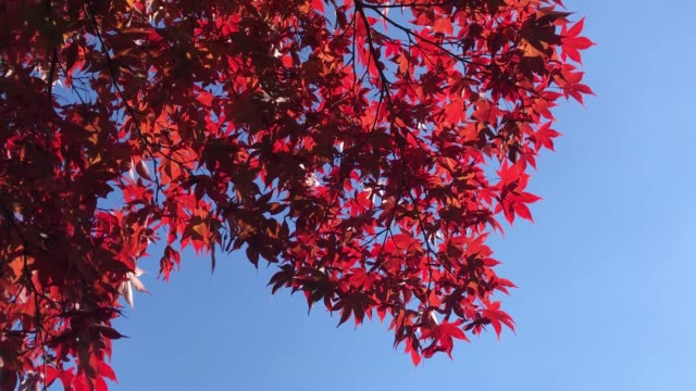 4k clear autumn red maple background and copy space - maple leaf stock videos & royalty-free footage
