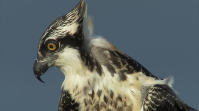 a clear-eyed hawk looks around as wind ruffles its feathers. - habicht stock-videos und b-roll-filmmaterial