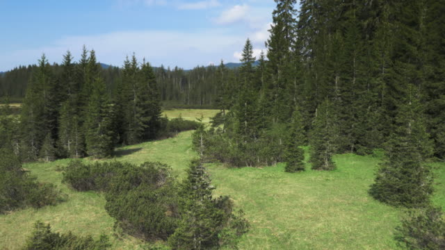 AERIAL Clearing in the spruce tree forest