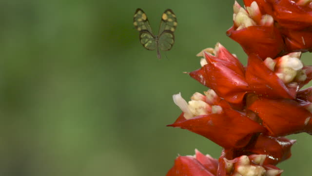 Clearwing butterfly (Greta sp.) takes off from flower in forest, Ecuador